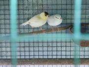 4 junge Kanarienvögel zu verkaufen