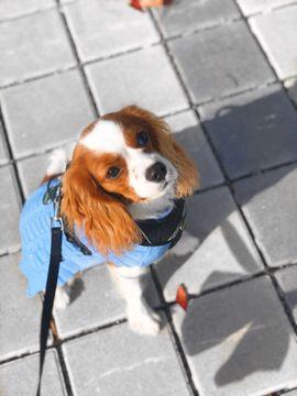 Deckrüde Cavalier King Charles Spaniel: Kleinanzeigen aus Lindau - Rubrik Hunde