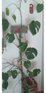 Blumen - Zimmerpflanze - Fensterblatt