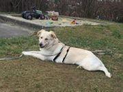 Arabella das hübsche Herdenschutzhundmädchen sucht