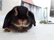 Zwergwidder Kaninchen Widder