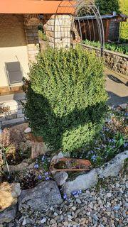Schön gewachsener Buchsbaum