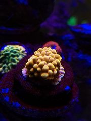Meerwasser Montipora Crazy T Koralle