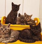 Reinrassig BKH Kätzchen
