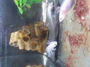 6 Axolotl vom Feb 2021