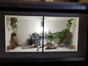 Leopardgecko Gruppe
