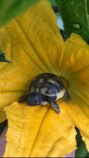 Griechische Landschildkröten Thh Sardinien