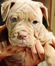 Old english Bulldog Hündinnen mit