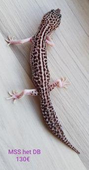 leopardgecko 0 1 und 1