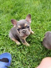 Französische Bulldogge Welpe Blue Tan
