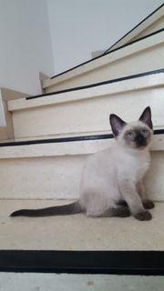 Siam Katzenbabys