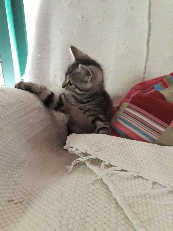 Britisch Langhaar britisch Kurzhaar Kitten