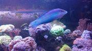 Meerwasser Lippfisch H cosmetus