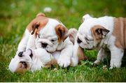 Englische Bulldoggen Welpen reinrassig