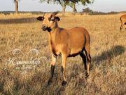 Schafe - Kamerunschafe - Bock Lamm Vorherdbuch
