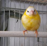 Prachtfinken Dreifarbige PA lutino
