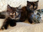 3 süße Kätzchen Perser-Siammix ab