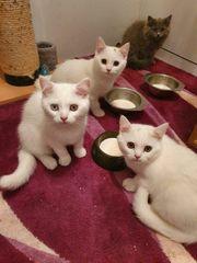 Wunderschöner BKH Kitten