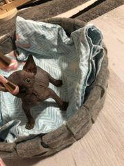 Suche Sphynx kitte
