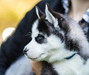 Siberian Husky Welpen mit blauen