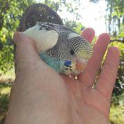 2 Nestjunge handzahme Wellensittiche abgabebereit