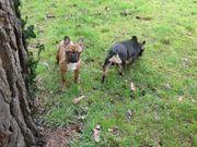 Französische Bulldogge Rüde Hündin