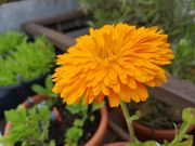 Set57 Ringelblume orange - Calendula officinalis