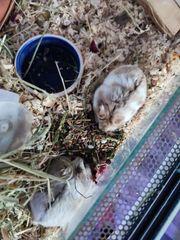 zwei hamster brüder