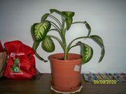 Verkaufe Zimmer Pflanze Dieffenbachia ca