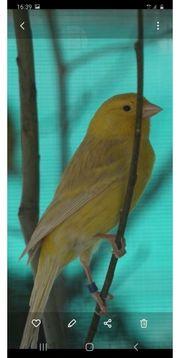 Kanarienvögel Gelbisabell