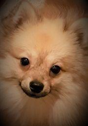 Pomeranian Spitz - Pinscher Mix Rüde