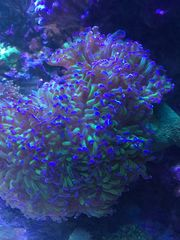 Korallenableger Euphyllia Lederkoralle Acropra Milka
