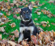 Schöne Deutsche Schäferhund Welpen zu