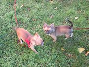 Chihuahua Mädchen Langhaar abzugeben