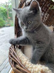 BKH Katze in Blue