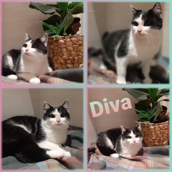 Wunderschöne Mai Katze Kitten Diva