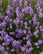 Lavendel 25 Stück Lavendula draf