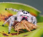 Phidippus regius white Bahamas Springspinnen