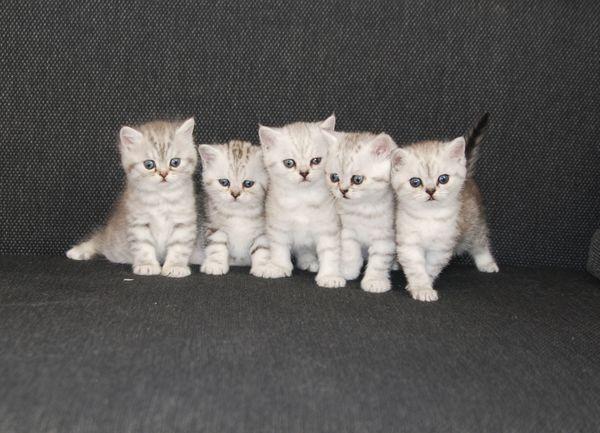 Britisch Kurzhaar Kitten BKH Kitten