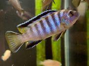Malawi Pseudotropheus elongatus mpanga 15St