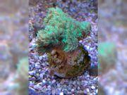 Korallen Ableger Anemone UV Lampe