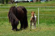 Shetland Hengstfohlen Shetty