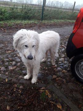 Bild 4 - Irischer Wolfshund Irish Wolfhound zu - Karbow-Vietlübbe Vietlübbe