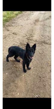 Schwarzer Schäferhund Welpe weiblich