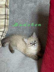 Katzenbabys Angora Siam Mix