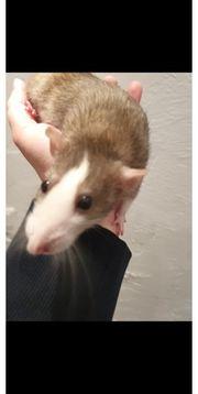 Ratten Mädels und ein bock