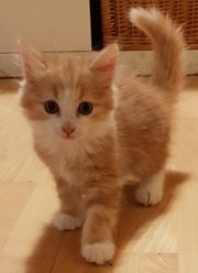 Maine Coon - Perser Mix Kitten