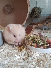 Teddyhamster Hamster sucht liebevolles Zuhause