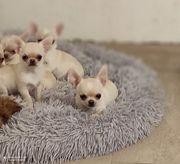Chihuahua Kurzhaar Creme-Weiß Rüde
