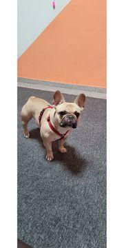 Suche Deckrüde Französische Bulldogge